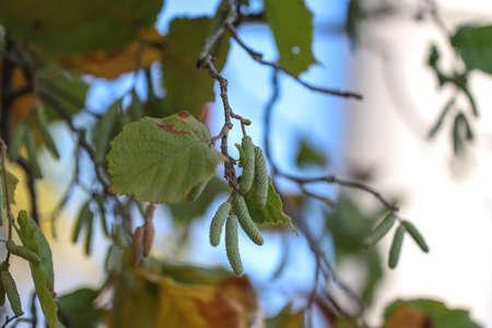 Blooming hazelnut. Hazel catkins in spring.