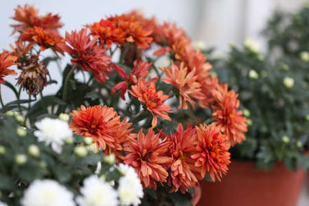marguerite: White and pink chrysanthemum flowers in pot. Stock Photo