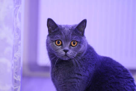 pete: Portrait of British cat push gay. Curious looking in camera. Front view. Stock Photo