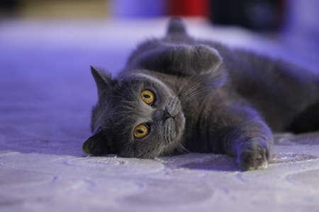 Gay British cat lying on a light carpet, yellow eyes.