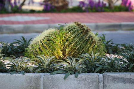 Big round cactus with yellow thorns.