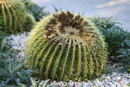 the spikes: Big round cactus with yellow thorns.