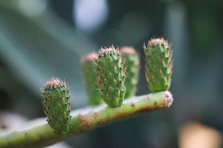 Opuntia cactus with new sprout. Stock Photo