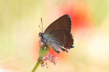 Satyrium Ilicis. Close up of butterfly in nature with poppy flowers. Stock Photo