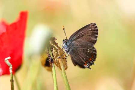 zvýšil: Satyrium Ilicis. Close up of butterfly in nature with poppy flowers. Reklamní fotografie