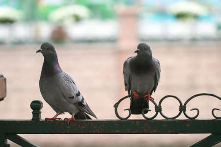 Two pigeons courting on a metal fence.