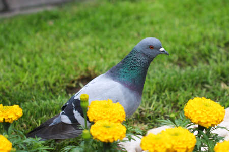 Beautiful Pigeon Bird walking on the grass in a city park.