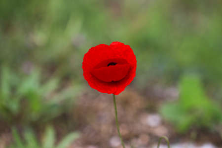 Red wild poppy flower with green background. Stock Photo
