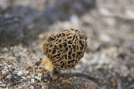 Morel mushroom in nature (Morchella esculenta). Common morel fungus.