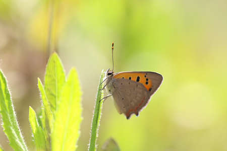 Satyrium Ilicis. Close up of butterfly in nature. Stock Photo