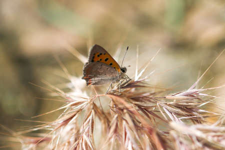 Satyrium Ilicis. Zblízka motýla v přírodě. Reklamní fotografie