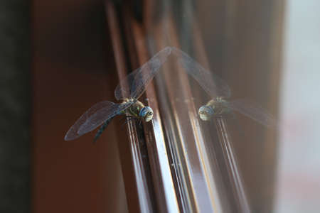 Close up of a very beautiful dragonfly with reflection at the window. Stock Photo