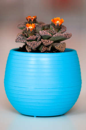 Cactus with orange flowers in a blue pot.