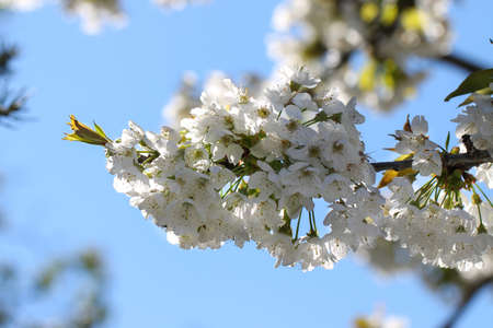 White flowers cherry on background blue sky. Spring cherry blossom.