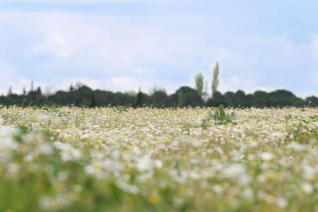 Nature background with blossoming daisy flowers. Nature.