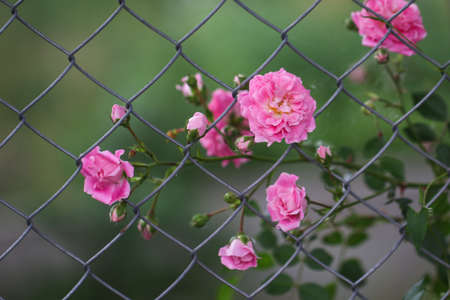 Pink roses on the wire netting. Flowers.