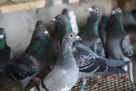 Homing pigeons sitting in a dovecote. Animals.