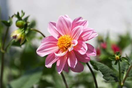 Close up of pink flower in the garden.