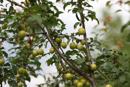 Branch with green plums in a garden. Stock Photo