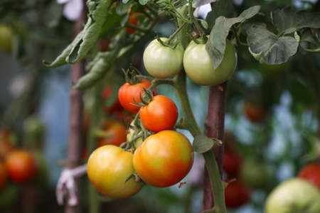Vegetable garden with red and green tomatoes. Ripe tomatoes on a vine growing on a garden.