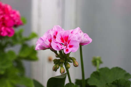 Geranium flowers. Pink bicolor geraniums in the home garden. Stock Photo