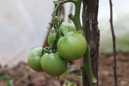 Green tomatoes starting to mature, pictures of wonderful green tomatoes planted in the garden