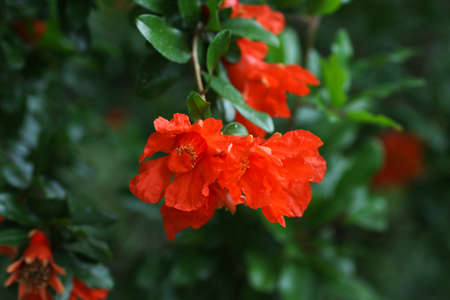 Green pomegranate branches with red flowers in the garden.