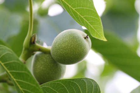 Green walnuts, fresh and naturally grown on tree Branch with green leaves close up.
