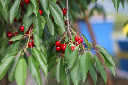 Cherries hanging on a cherry tree branch. Red and sweet cherries on a branch. Stock Photo