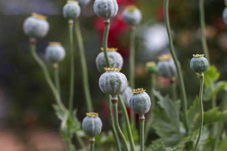 Poppy (Papaver somniferum) pods in garden. Papaver somniferum - poppy seed pod in plantation.