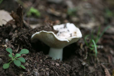 Close up of white mushroom in wild. Stock Photo