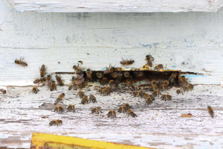 Plenty of bees at the entrance to beehive in apiary. Busy bees close up view of the working bees.