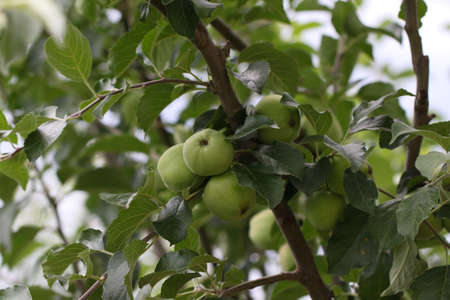 Apple tree with young ripe apples.