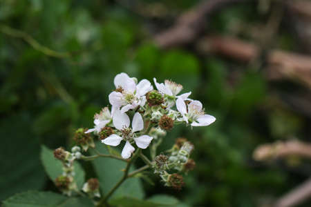 White blossoms on a wild blackberry bush. Stock Photo