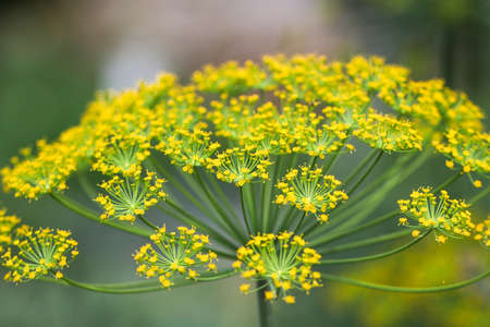 Close up of yellow dill flowers. Nature.