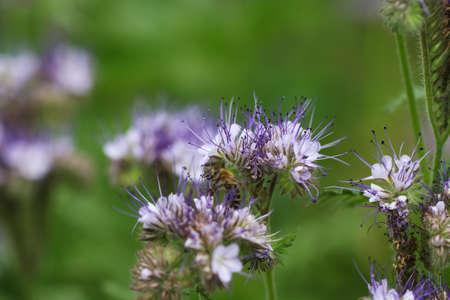 Purple flowers and honey bee. Nature
