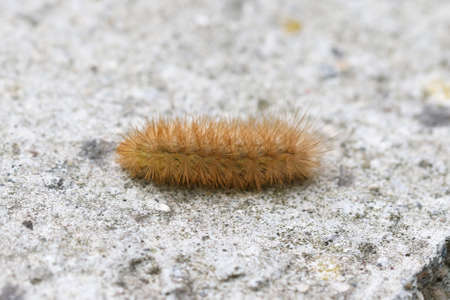Tiger moth caterpillar also called woolly bear caterpillar.
