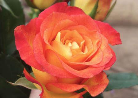 rosas amarillas: Rojo y rosa amarilla