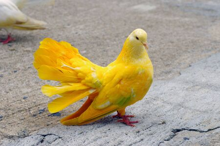 Yellow pigeon Stock Photo - 15166980
