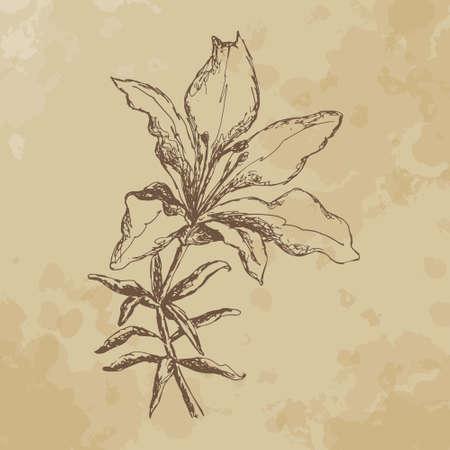 tiger lily: Tiger Lily. sketch. vintage Illustration