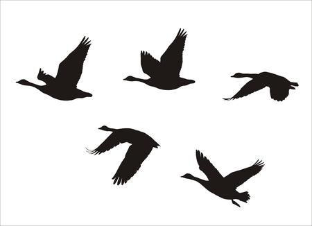 gęsi: sylwetki stado gęsi kanadyjskich latających