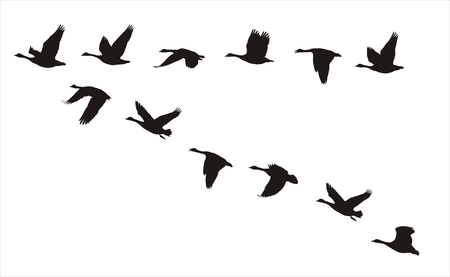 silhouettes of flock of flying canadian geese  Vector