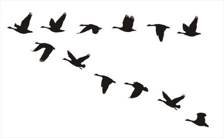 aves: silhuetas de bando de gansos canadenses