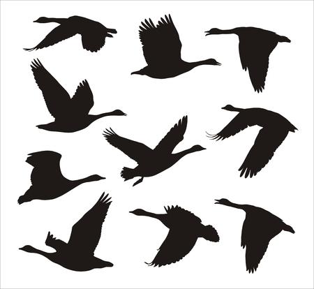 voador: silhuetas de rebanho voando gansos canadenses