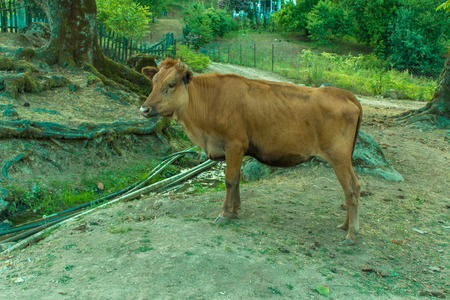 red heifer: A red cow stands at forest