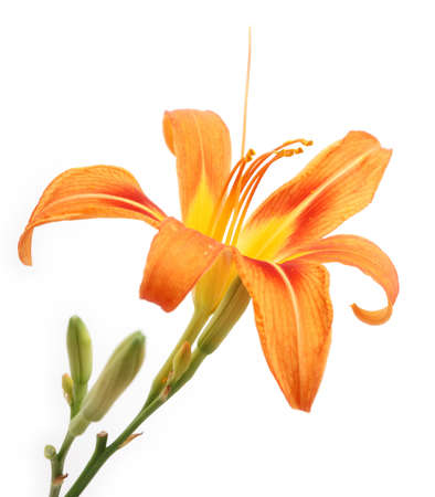 Tiger Lilly on white background