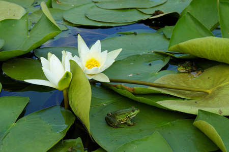 Two frogs sitting on the water lily pads photo