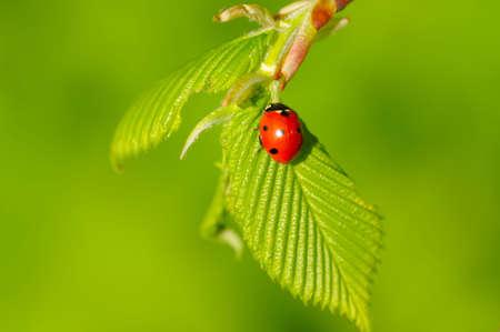 ladybug on fresh spring leaf