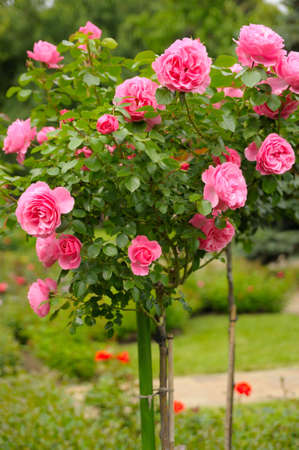 Roses in garden Stock Photo