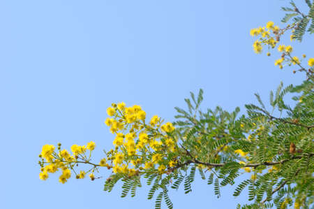 Branch with yellow flowers against blue sky photo
